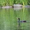 DSC_1385 cormorant
