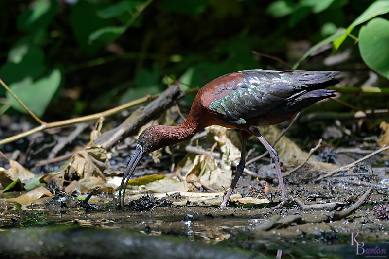 DSC_1201 scarlet ibis_Nik_DxO