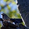 DSC_0430 sparrow_DxO