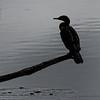 DSC_8020 cormorant