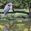 DSC_0191 great blue heron