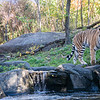 DSC_7266 Asian Tiger