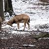 DSC_8635 Pere David's deer