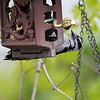 DSC_9298 downy woodpecker_DxO