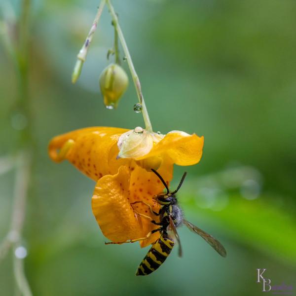 DSC_0376 yellow jacket and jewel weed