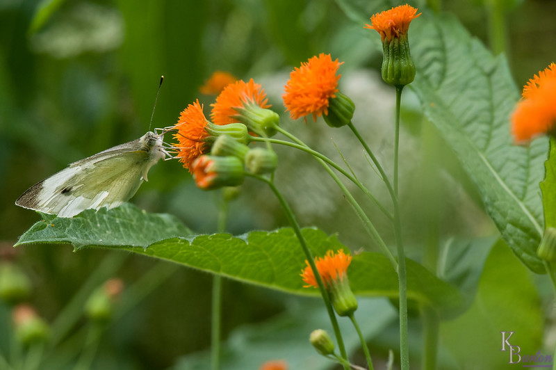 Cabbage white on orange thisle