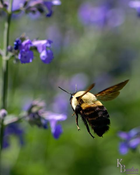 DSC_0957 bumble bee_DxO