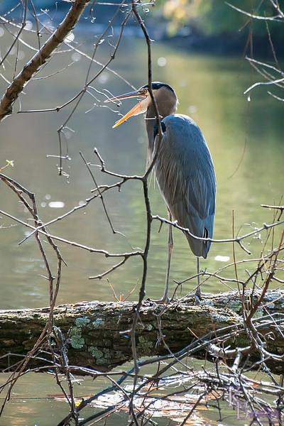 DSC_6252 great blue heron at Clove lake