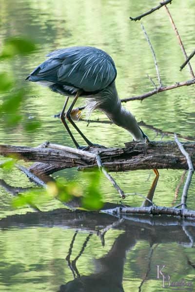 DSC_6548 great blue heron