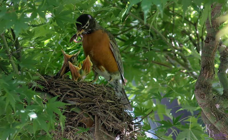 DSC_7377 robin's nest_DxO