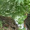 DSC_7297 robin's nest