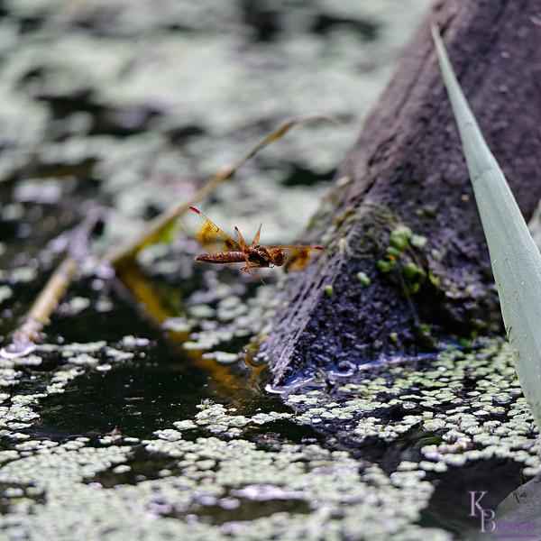 DSC_8781 dragonfly_DxO