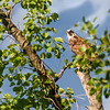 I had spotted this osprey perched high up on this tree while photographing that heron's nest. So after getting my last shot of the nest I packed up my gear and walked under the tree looking to get a clear shot of him. OF course you can't sneak up on a bird, so he looked down at me quite intently as I was setting up my gear to get these shots.