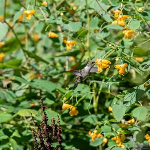 DSC_1885 hummingbird