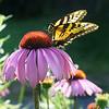 dsc_8212 swallowtail feeding