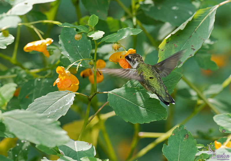 DSC_8379 the hummingbirds of Clove Lakes_DxO