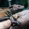 DSC_8191 Weber's sailfin lizard