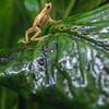 DSC_1600 tropic frog