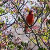 DSC_9131 cardinal