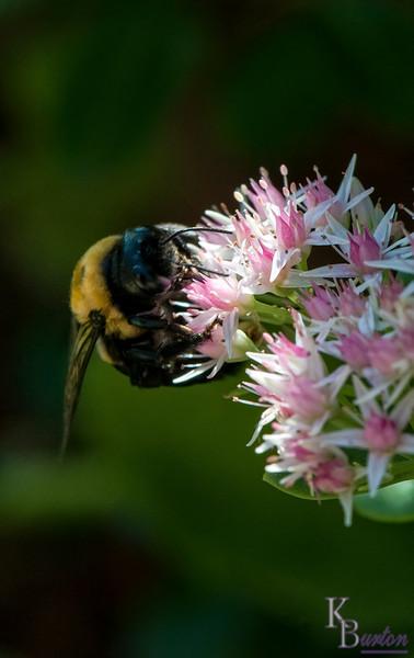 DSC_6845 bumble bee