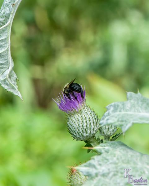 DSC_4160 bumblebee on thisle
