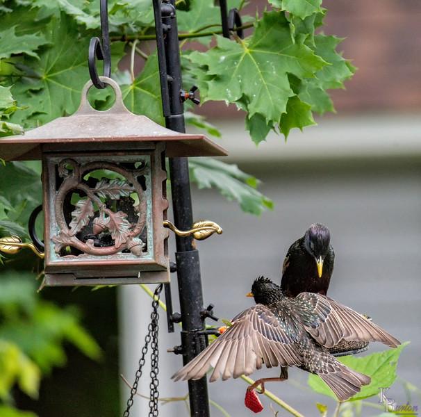 DSC_4106 starlings