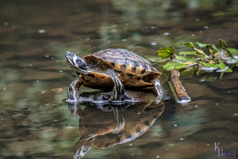 I believe this is a midland painted turtle, and is one of the first I've seen here at Clove lake, which is dominated by red eared sliders.