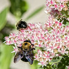 DSC_6889 bumble bee