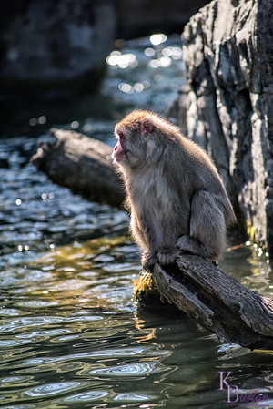 DSC_0551 Snow monkeys