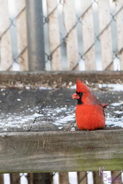 DSC_8110 cardinal