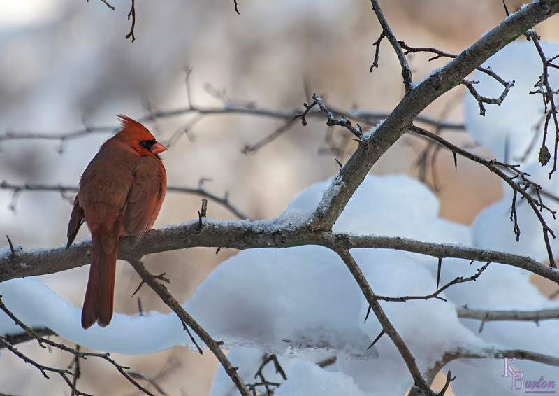 I had the good fortune of being off today, and with snow still covering the branches I thought it would be a good chance to add a few nice shots of our local feathered inhabitants in a pleasing winter setting. I was right.