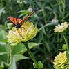 DSC_3193 monarch