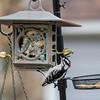 DSC_3154 woodpecker