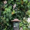 DSC_5936 backyard bird feeder