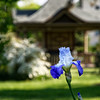 The iris' were in bloom in the White gardens today