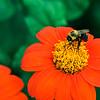 DSC_6484 bumble bee