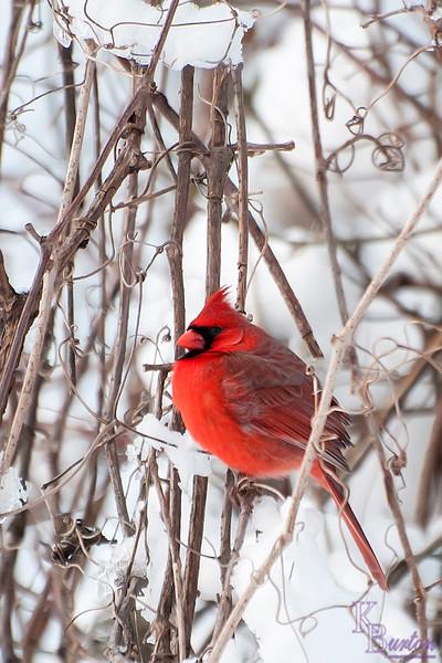 DSC_0049 Cardinal on a winter morning at Clove lake