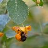 DSC_1793 bumble bee