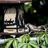 DSC_0680 sparrows_DxO
