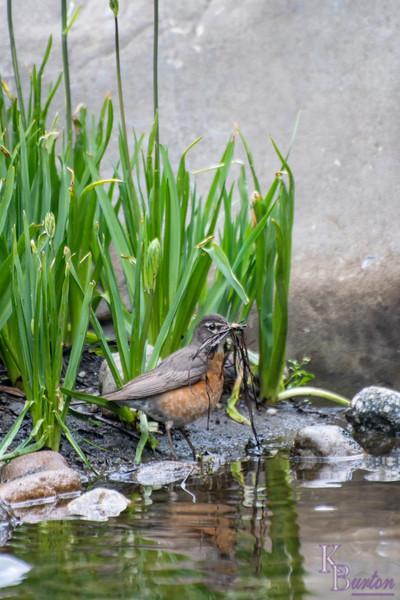 DSC_4257 female robin