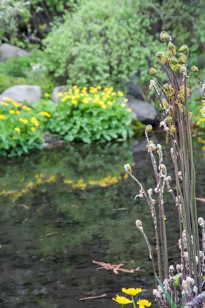 DSC_3048 Royal ferns