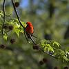 DSC_3177 scarlet tanager