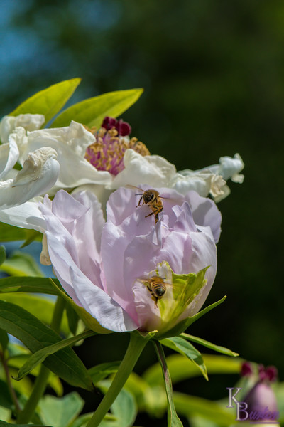 DSC_8154 hoey bees