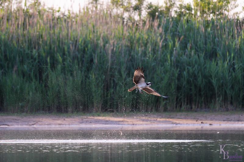 DSC_0305 osprey's ont he hunt_DxO