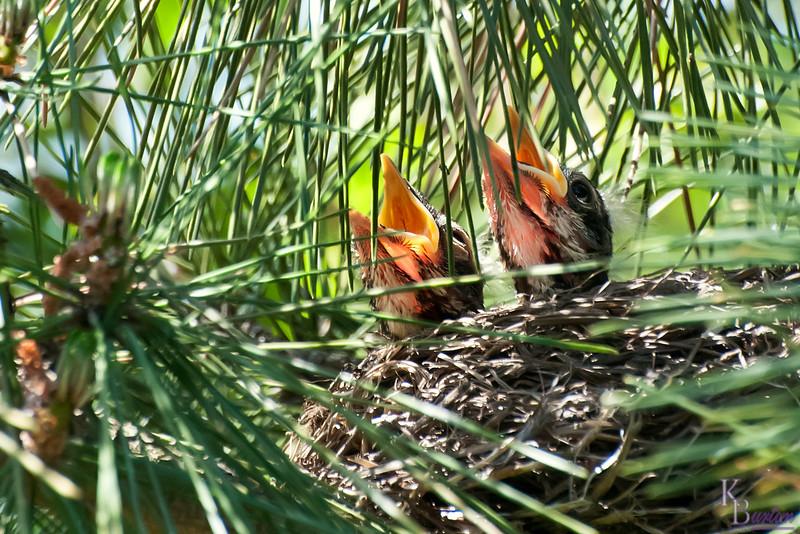 DSC_7885 robin's nest