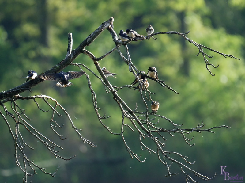 This fallen tree was a favorite resting spot for a lot of birds. Especially this group of swallows.
