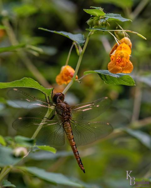 DSC_7759 dragonfly