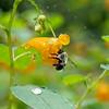 DSC_0767 bumblebee and jewel weed