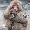 DSC_2044 snow monkeys