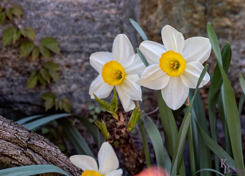 DSC_2585 daffodils